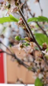 切り花の桜