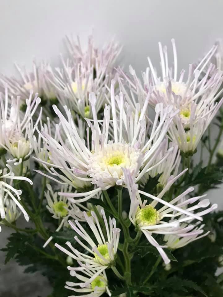 かわいい菊